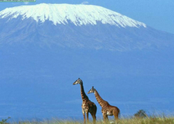 Giraffes with Mount Kilimanjaro Backdrop