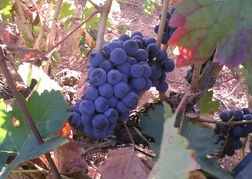 Grapes in vineyard in Valencia