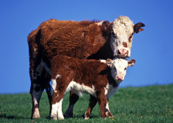 Hereford Bull and Calf