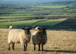 Sheep in North Wales